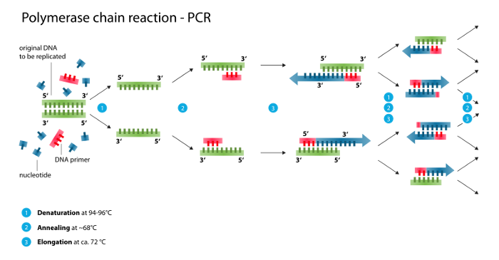 medium_polymerase_chain_reactionsvg