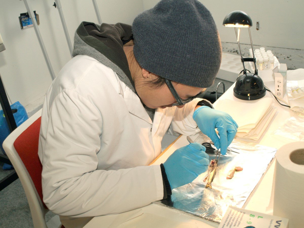 Scientist You Song sampling atlantic salmon at a laboratory in NMBU