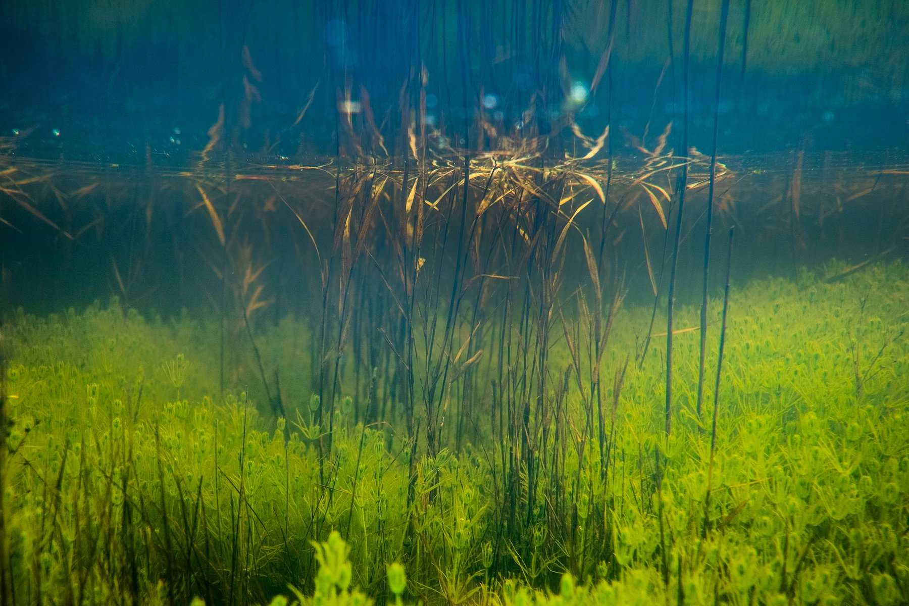 An underwater landscape dominated by Characeans and pondweeds. )