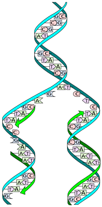 medium_dna_replication_splitsvg