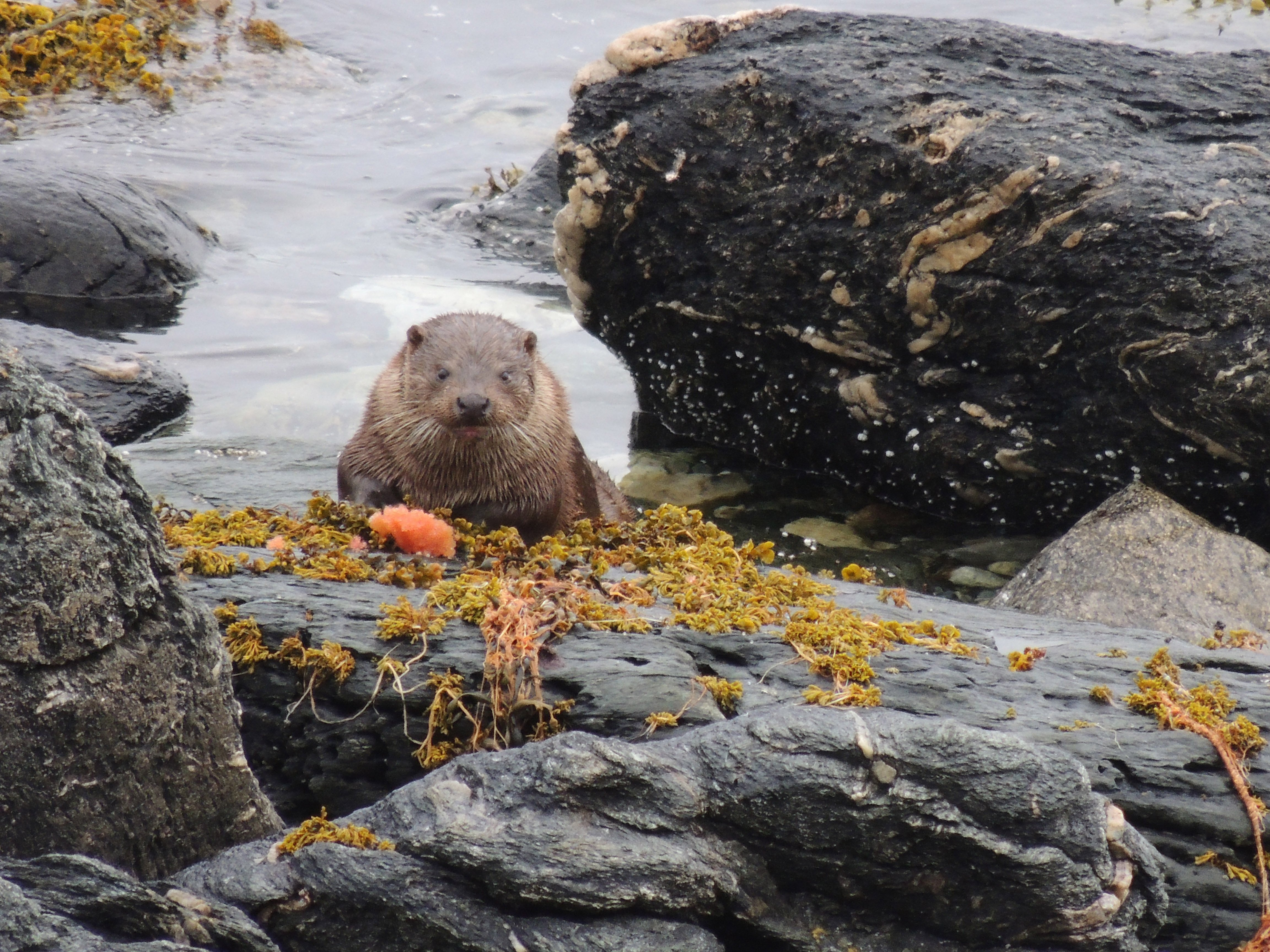 otter on rock in water